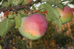 яблоня студенческое