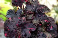 Midnight Rose / Миднайт Роуз