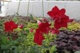 дипладения красная