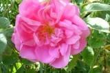 Роза эфиромасличная (казанлыкская)