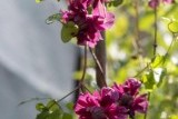 Purpurea Plena Elegans / Пурпуреа Плена Элеганс