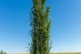 Gray Poplar «Tower»/ Тополь сереющий «Тауэр»