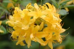 Japonicum/ Японский желтый