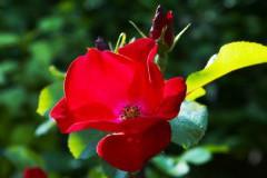 роза Robusta