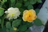 роза Molineux