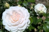 Great North Eastern Rose/ Грейт Норт Истерн Роуз