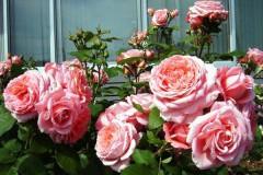 роза Institut Lumiera