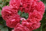роза Rosarium Uetersen