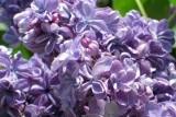 Violetta / Виолетта