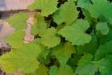 виноград абу-хасан ЗКС