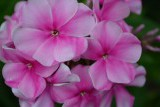 Розовый Районант