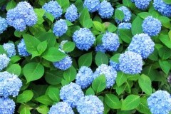 Nikko Blue / Никко Блю