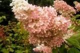 Grandiflora / Грандифлора