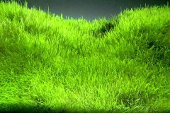 Utricularia graminifolia / Утрикулярия граминифолия