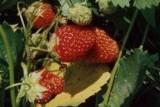 Земляника садовая Соловушка