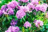 Catawbiense Grandiflorum / Катевбинсе Грандифлорум