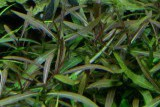 """Hygrophila sp. """"Araguaia"""" / Гигрофила """"Арагуая"""""""