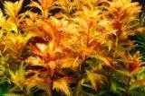 Proserpinaca palustris/ Прозерпинака палюстрис