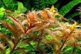 Proserpinaca palustris / Прозерпинака палюстрис