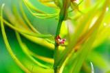 Didiplis diandra / Дидиплис диандра