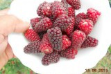 Bestberry / Бестберри