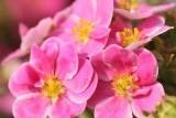 Pink Paradise / Пинк Парадайз