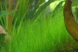 "Leptodictyum riparium ""Stringy"" /Лептодиктиум рипариум «Стринги»"