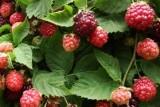 Boysenberry / Бойсенберри