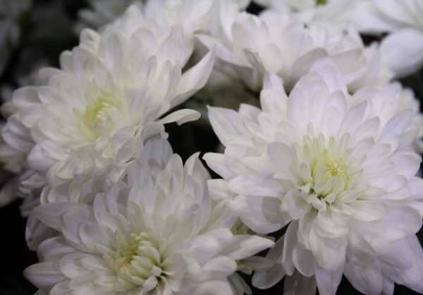Хризантема балтика белая — О цветах