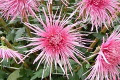 Spider Pink/ Спайдер Пинк