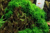 "Vesicularia ferriei ""Weeping"" / Везикулярия Ферри ""Випинг"""