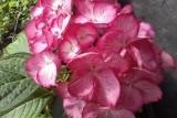 Гортензия Окская весна