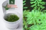 Myriophyllum mattogrossense / Мириофиллум маттогроссенс