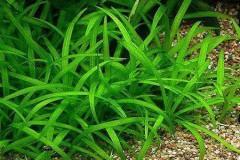 Sagittaria subulata /Стрелолист шиловидная