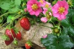 Земляника садовая Lipstick/ Липстик
