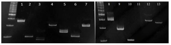 Рисунок 2 - Микросателлитные локусы сорта малины Патриция (ярко-пурпурные ягоды). 1 – FJ194452, 2 – FJ194453, 3 – FJ194454, 4 – FJ194455, 5 – FJ194444, 6 – FJ194445, 7 – FJ194446, 8 – FJ194447, 9 – FJ194448, 10 – FJ194449, 11 – FJ194450, 12 – FJ194451, 13 – AF292369.