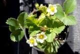 Земляника садовая ремонтантная Каскад