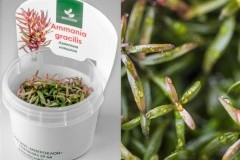 Ammania gracilis/ Аммания изящная