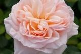 Роза Belle Romantica/ Бэлль Романтика
