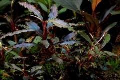 "Bucephalandra sp. ""Kedagang"", Japan/ Буцефаландра «Кедаганг» NANO"