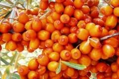 облепиха оранжевая